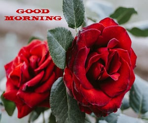 Good Morning Rose Images Hd 1080p